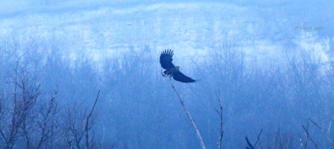 Monitorizarea efectivelor de iarnă a păsărilor răpitoare