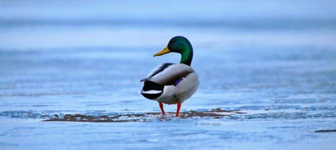 Recensământul de iarnă al păsărilor de apă (International Waterbird Census)