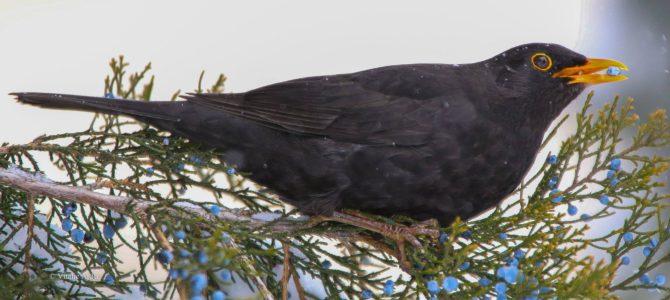 Ce păsări putem vedea iarna?