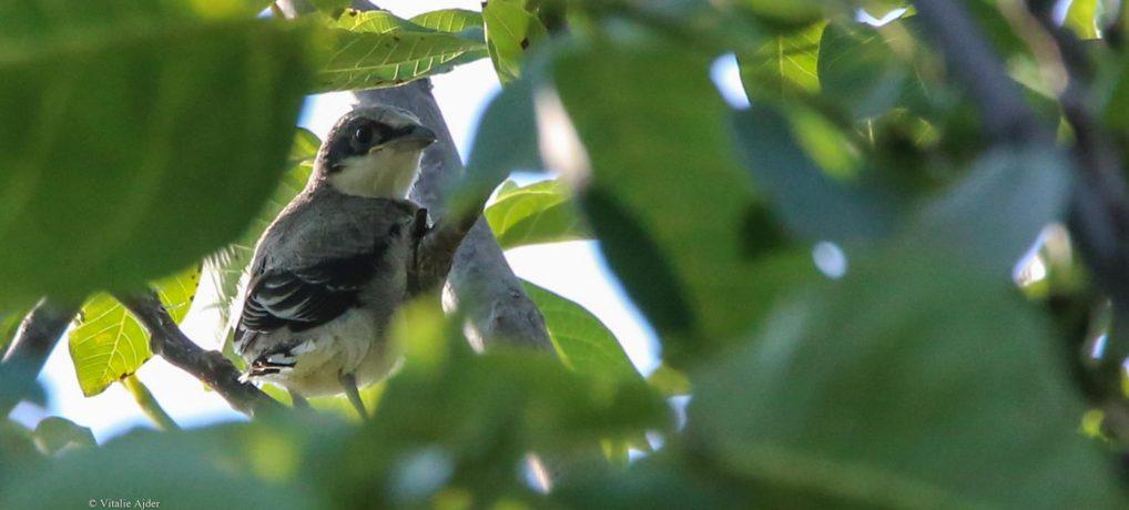 Cum ajutăm CORECT un pui de pasăre căzut din cuib