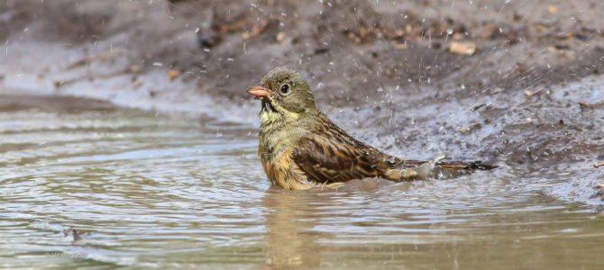 Adăpători și scăldători pentru păsări