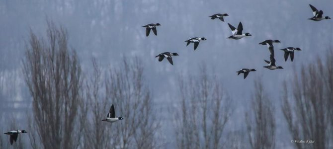 Ce păsări putem vedea iarna? (Partea a III-a)