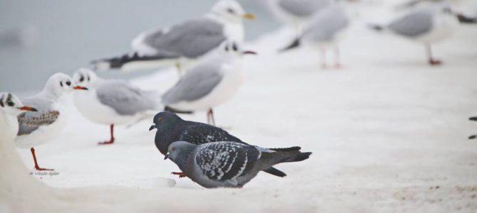 Ce păsări putem vedea iarna? (partea I)