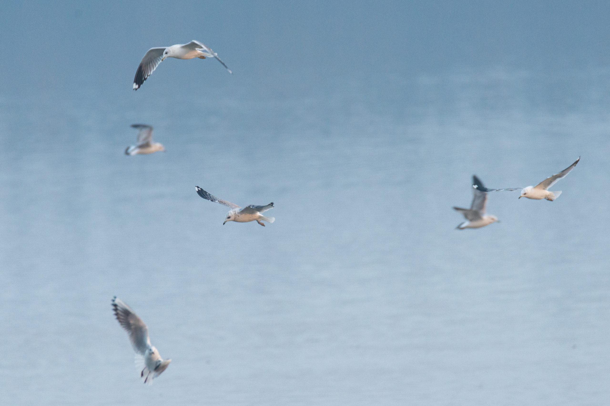Recensământul internațional al păsărilor de apă în Republica Moldova